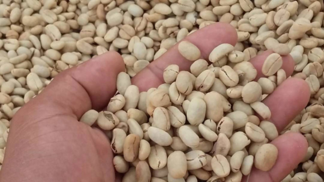 Beans ready for roasting